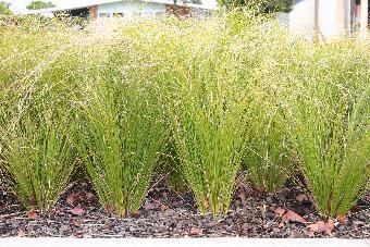 Nz Grasses For Landscaping Native grasses landscaping with nz native grasses bushmansfriend carex dipsacea workwithnaturefo