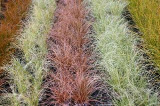 Carex grasses